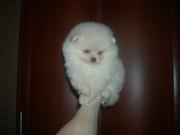 Предлагаются к продаже щенки миниатюрного шпица