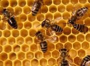 Продам пчелопакеты,  пчелосемьи