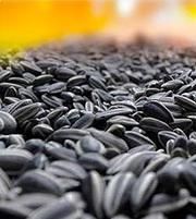 Куплю семечки маслиничные оптом на экспорт3000тн